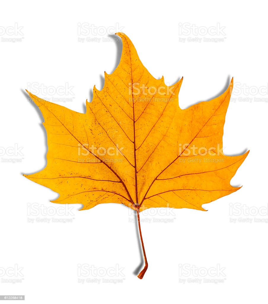 Yellow leaf as an autumn symbol isolated on white stock photo