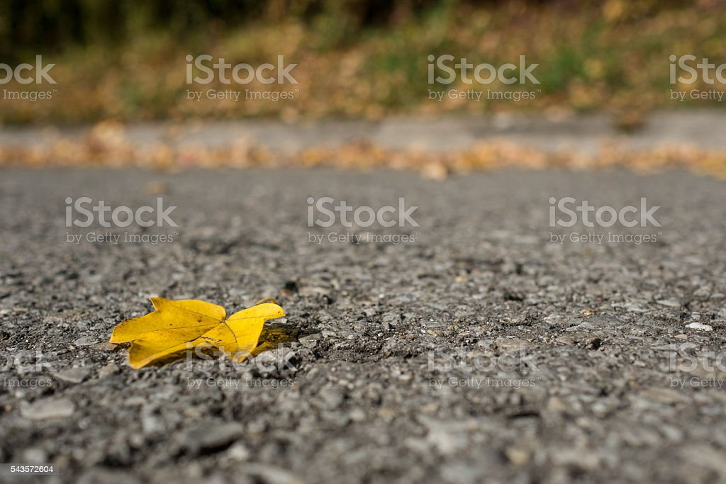 Yellow leaf of a maple tree in fall stock photo