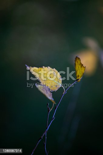 istock yellow leaf on a branch, natural background, vertical 1285587314