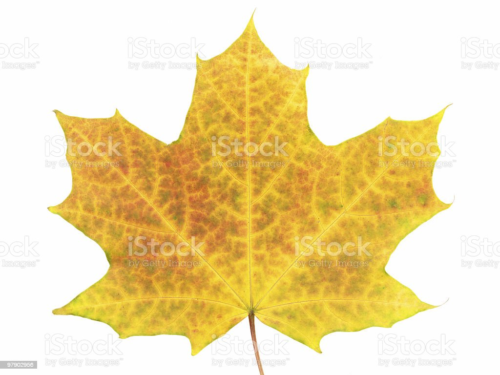 Yellow leaf on white royalty-free stock photo
