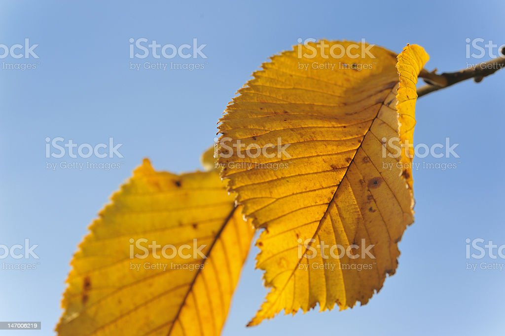 Amarillo hoja foto de stock libre de derechos