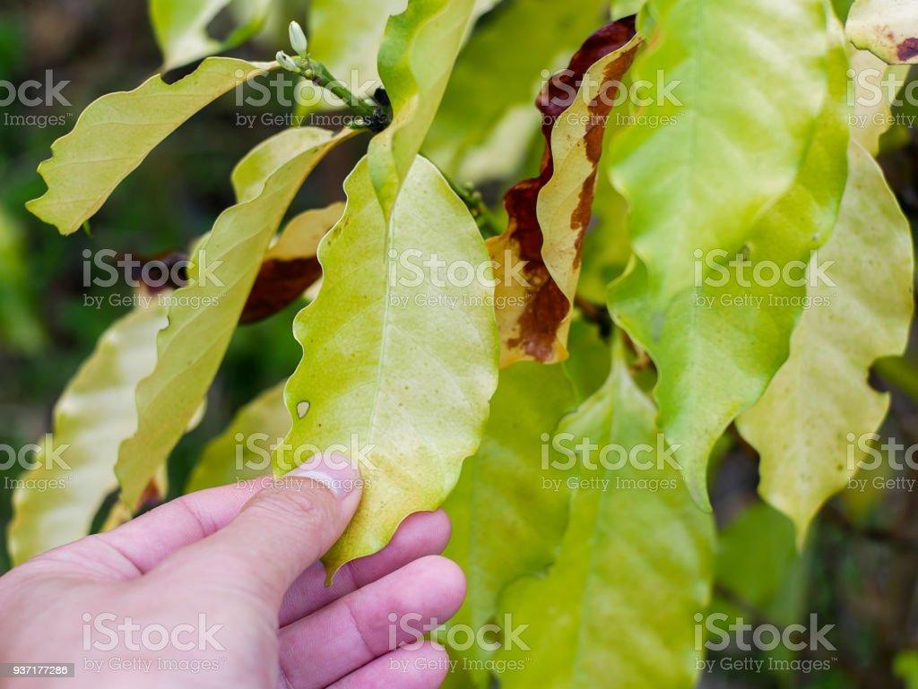 yellow leaf stunting disorder chlorosis in coffee tree stock photo