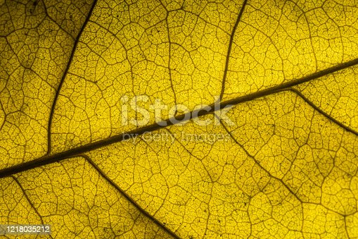 1155045999 istock photo yellow leaf texture background,Autumn, Leaf, Backgrounds, Abstract, Nature 1218035212