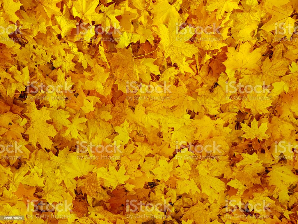 yellow leaves background stock photo