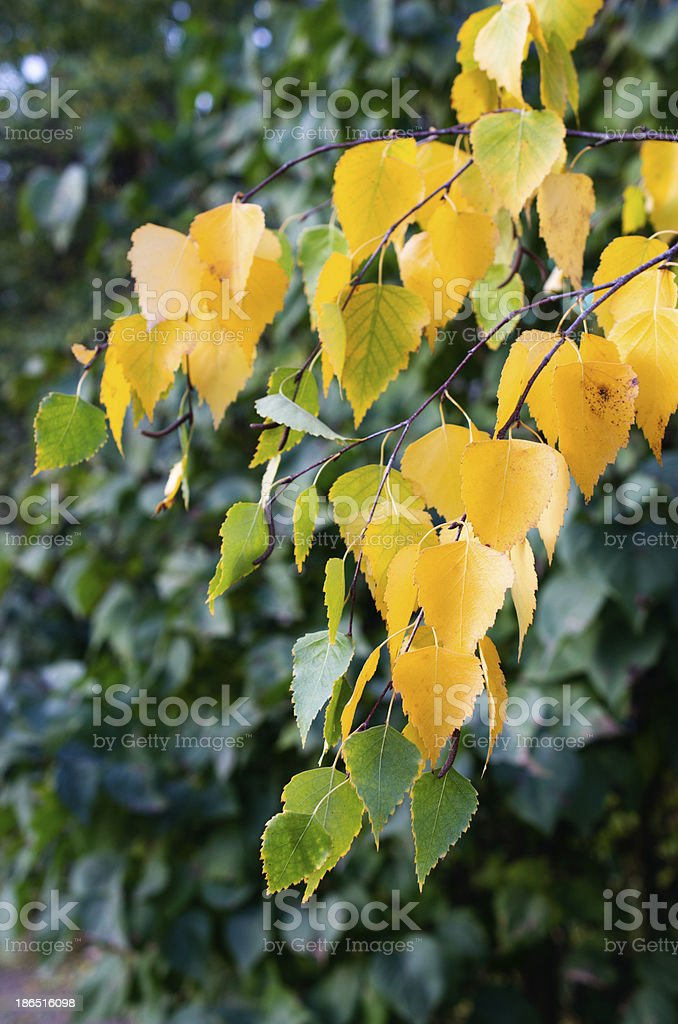 yellow leaves fall from the trees in autumn royalty-free stock photo
