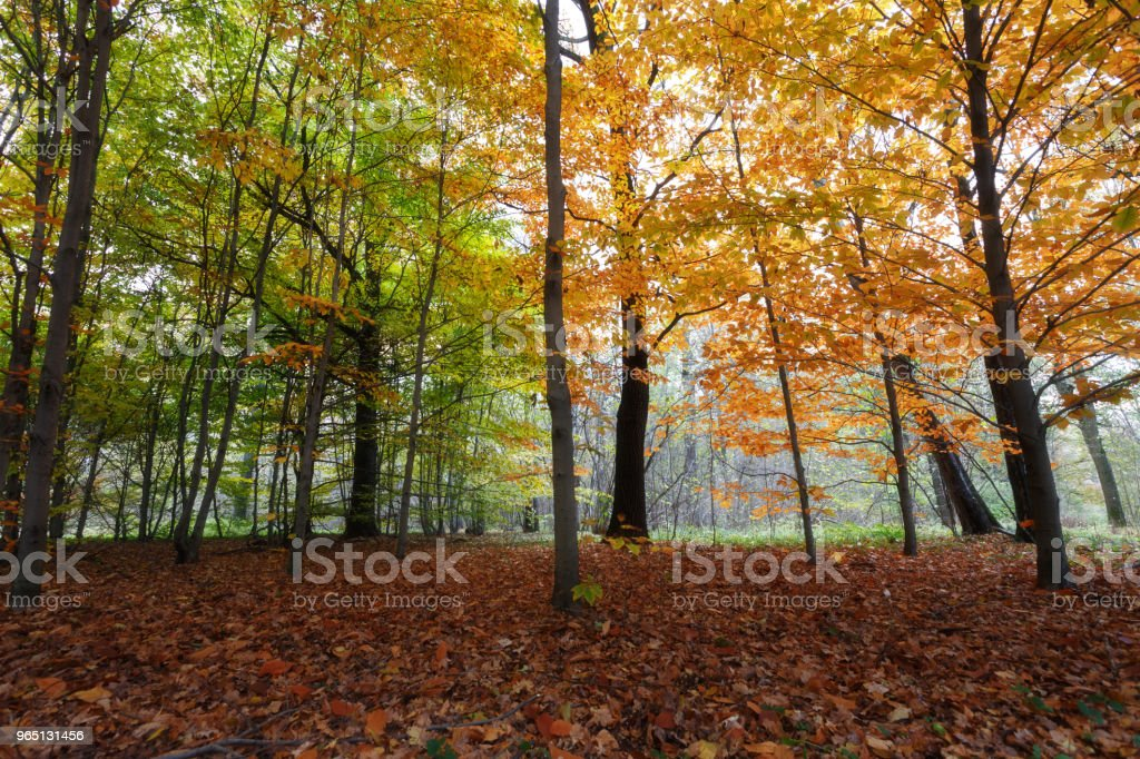 Yellow leaves in autumn forest. Yellow trees grow next to green trees. Fallen leaves lying on the ground royalty-free stock photo