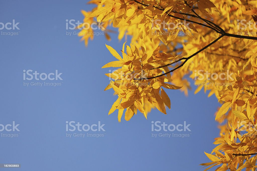 yellow leaves in autumn royalty-free stock photo