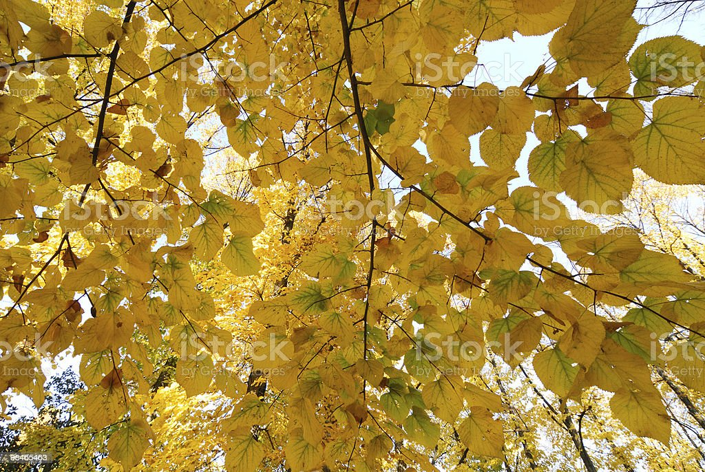 Yellow leaves in autumn (Milan, Italy) royalty-free stock photo