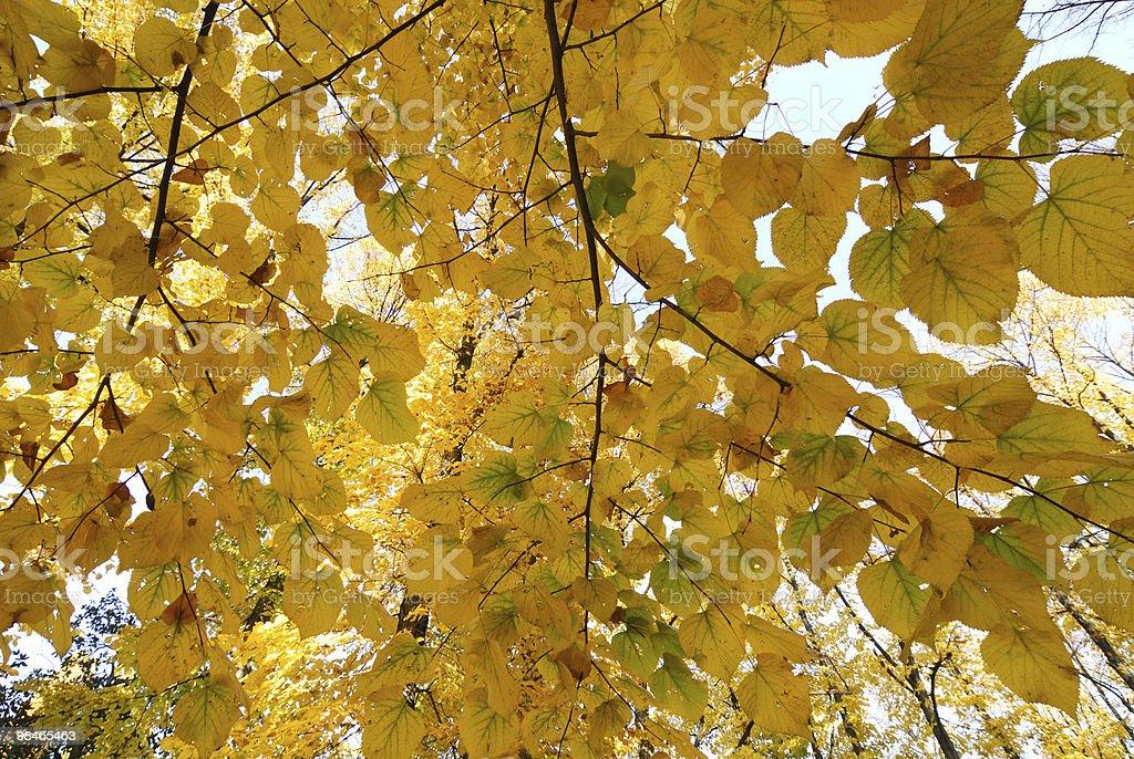 Foglie gialle in autunno (Milano foto stock royalty-free