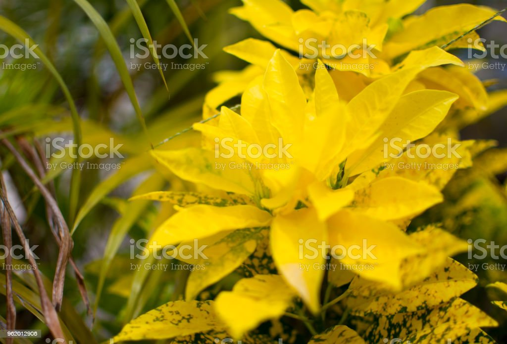 Yellow leaves in blurred background. This is a beautiful nature background stock photo