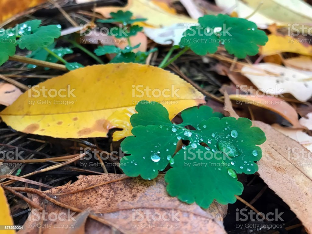 yellow leaves in the autumn forest stock photo