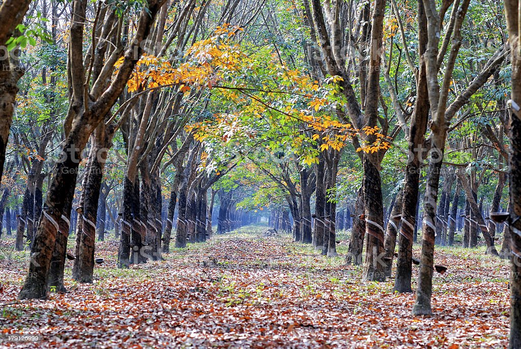Yellow leaves in the rubber forest royalty-free stock photo