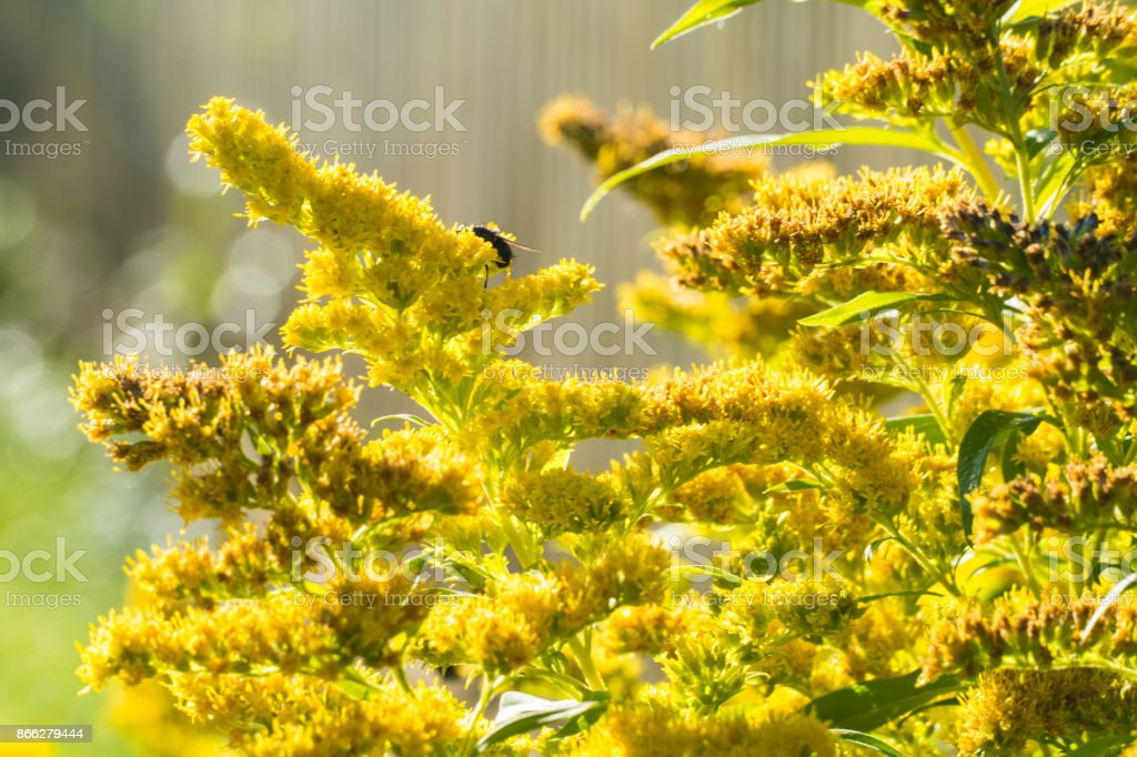 Yellow leaves of a bush stock photo