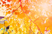 Yellow leaves of birch in sunbeams. Blurred nature background with shallow dof. Golden autumn season concept