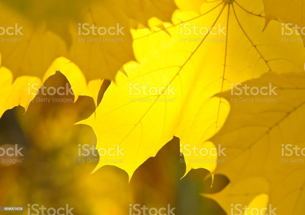Yellow leaves of maple in the park royalty-free stock photo