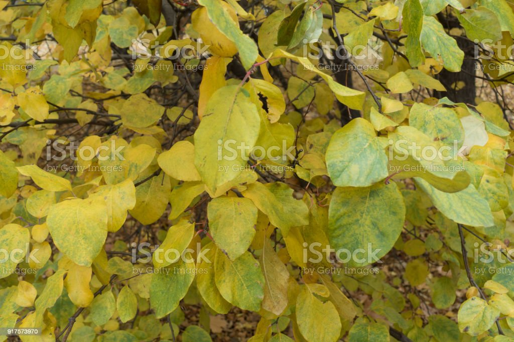 Yellow leaves of quince tree in autumn stock photo