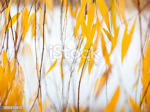 Yellow leaves of the weeping willow in the autumn day. Golden foliage.