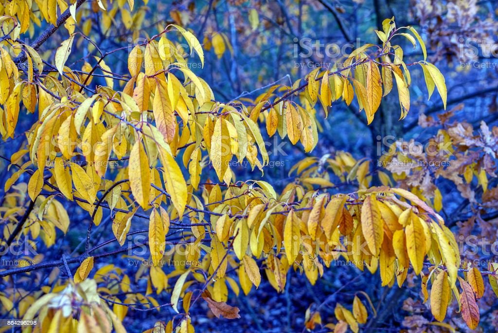 yellow leaves on a long branch of a tree in the park royalty-free stock photo