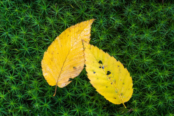 Yellow leaves on green moss stock photo