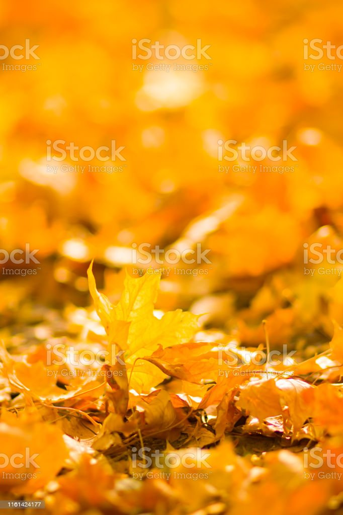 Yellow leaves on the ground. Autumn pattern with fallen leaves....