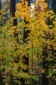 istock Yellow leaves on the trees in the forest. Autumn landscape. 1271921896