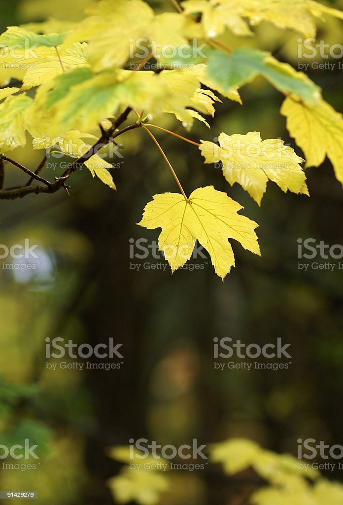 yellow leaves royalty-free stock photo
