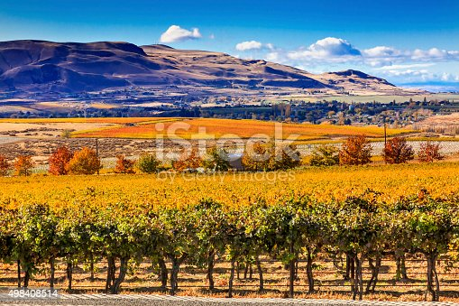 Yellow Leaves Vines Rows Grapes Wine Autumn Red Mountain Benton City Washington
