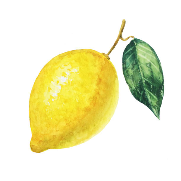 흰색 바탕에 노란색 레몬입니다. 수채화 그림입니다. - 일러스트레이션 뉴스 사진 이미지