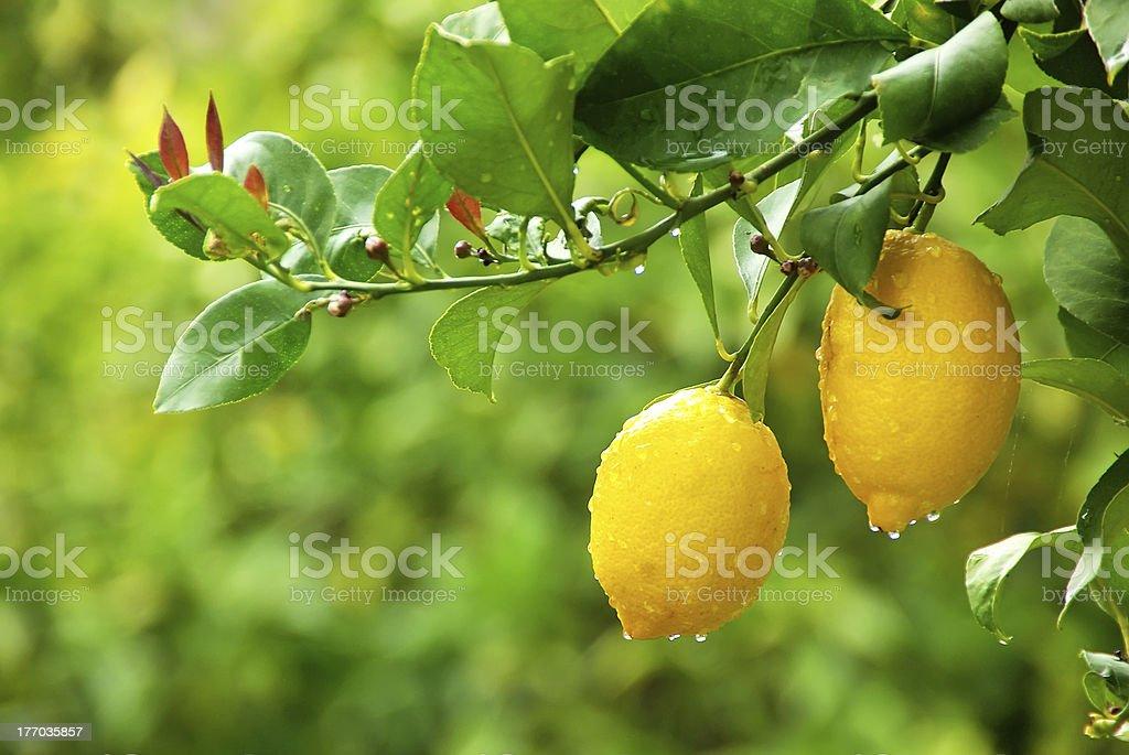 yellow lemons hanging on tree royalty-free stock photo