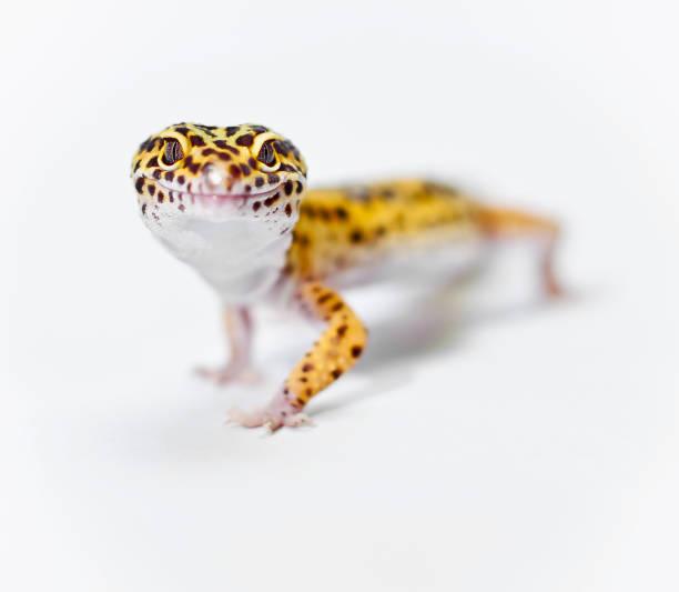 geckos léopards jaunes regardant la caméra - animaux familiers exotiques photos et images de collection
