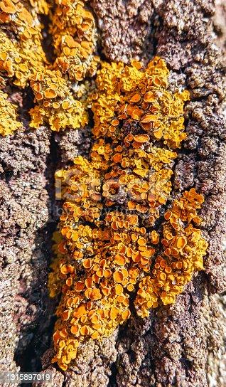 Yellow lichen on old pine tree bark under sunlight