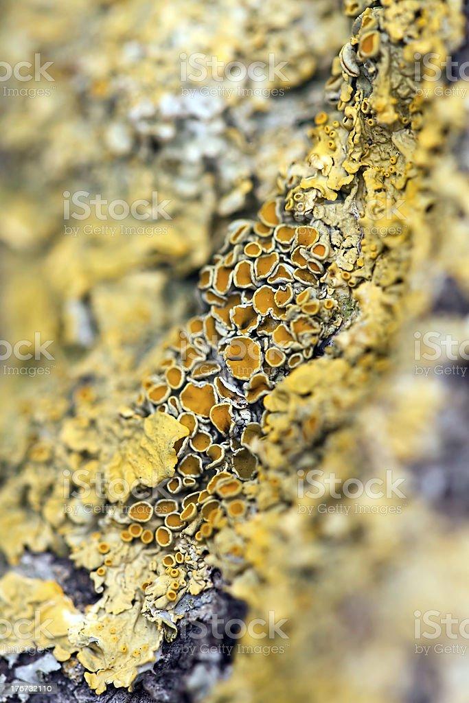 Yellow lichen royalty-free stock photo