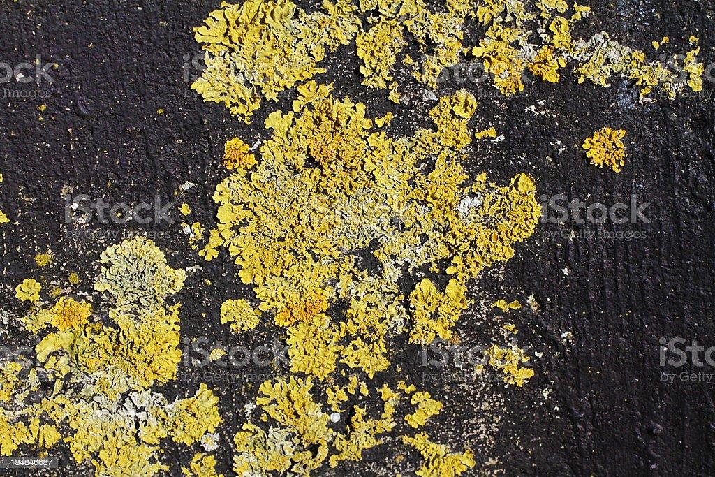 Yellow lichen Xanthoria parietina black background stock photo