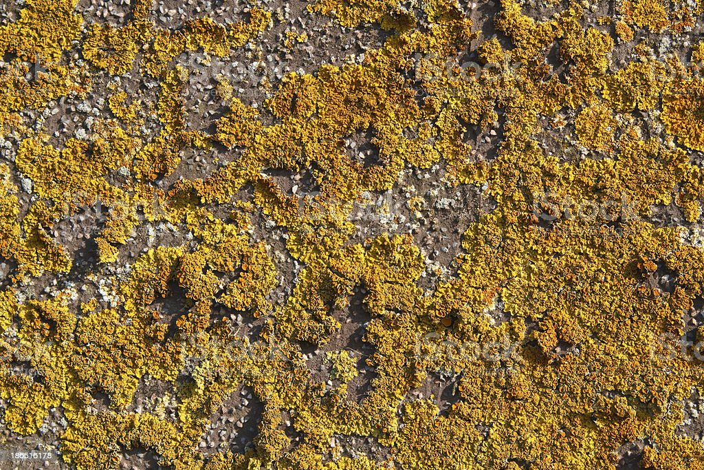 Yellow lichens royalty-free stock photo