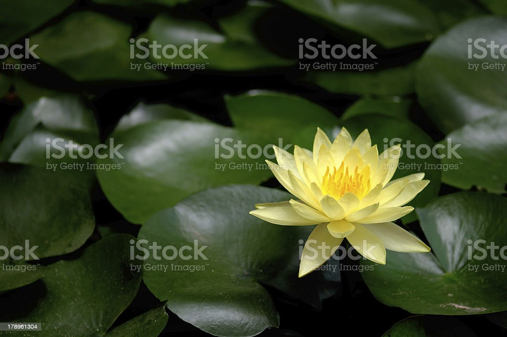 Yellow lili flower (Nymphaea) royalty-free stock photo