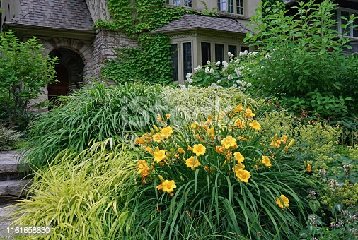 Yellow lilies in front yard of a vine covered house