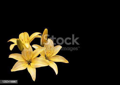 Yellow lilies isolated on black background