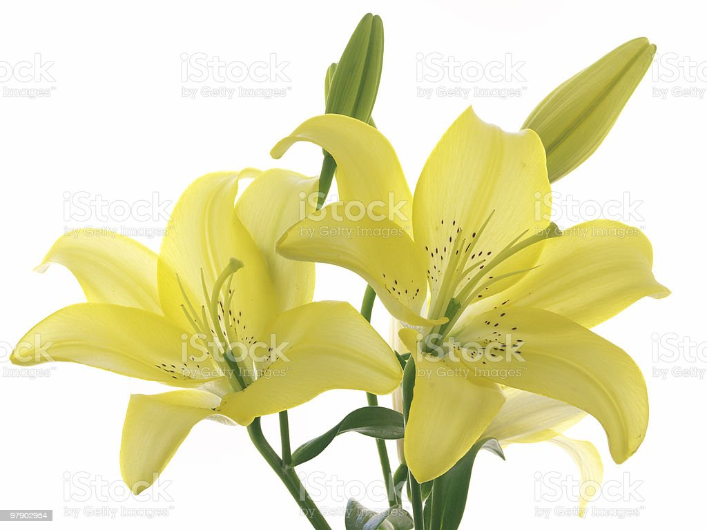 Yellow lilies on a branch royalty-free stock photo