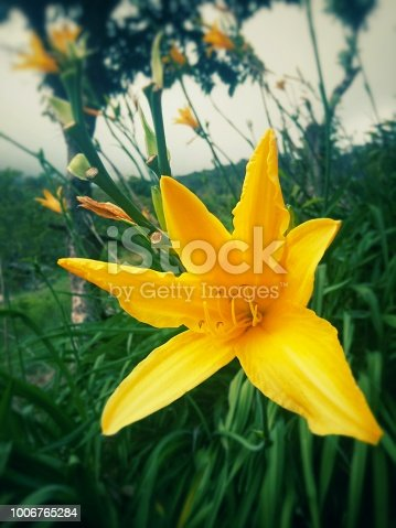 Beautiful yellow lily flower with long stamens located in a mountainous garden