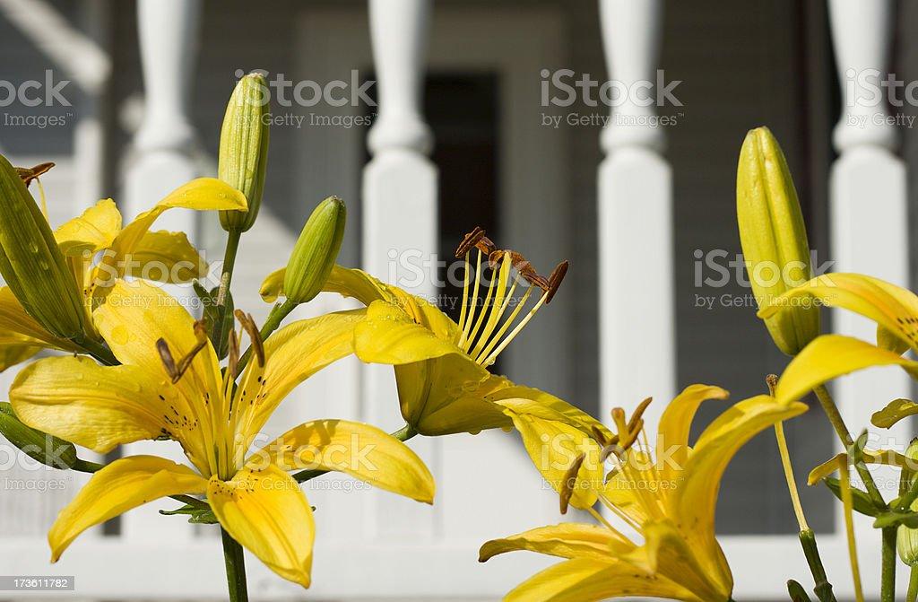 Yellow Lillies stock photo