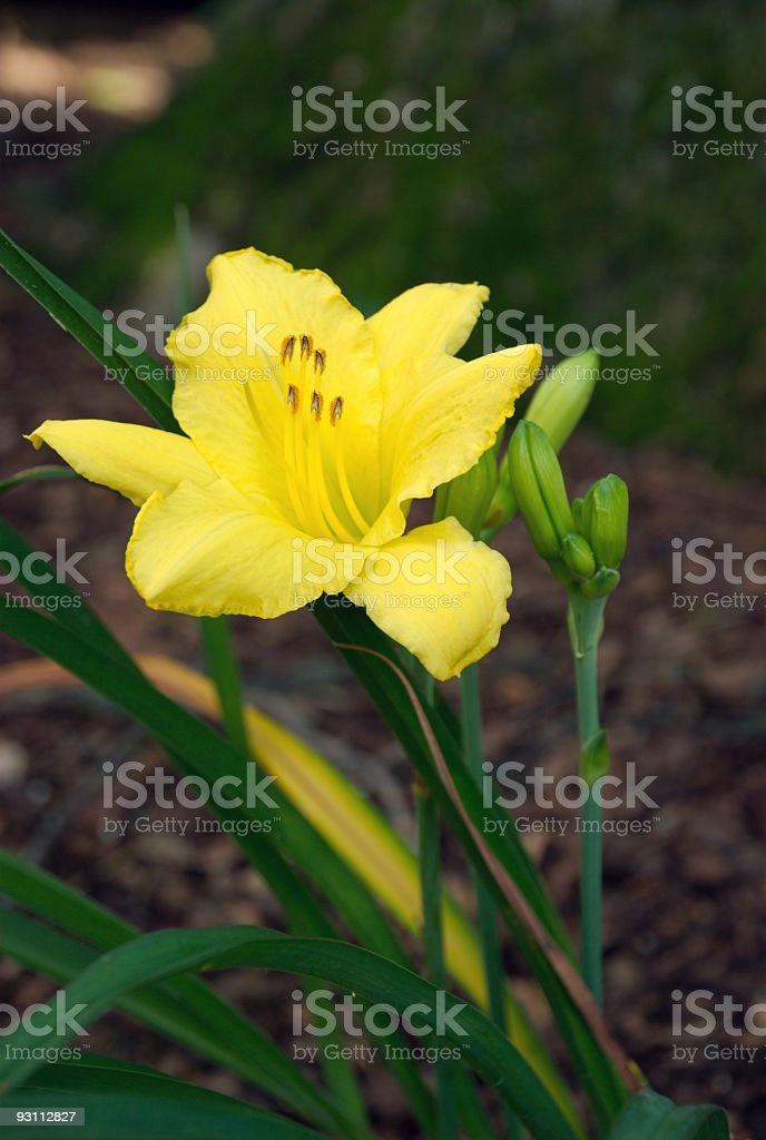 Yellow Lily and Buds in Garden - Royalty-free Akşam karanlığı Stok görsel