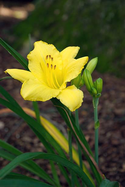Yellow Lily and Buds in Garden stok fotoğrafı