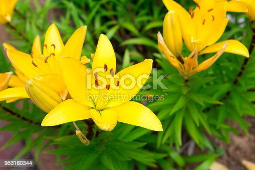 yellow lily flower in summer