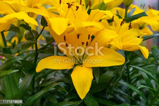 yellow lily flowers growing in a summer garden