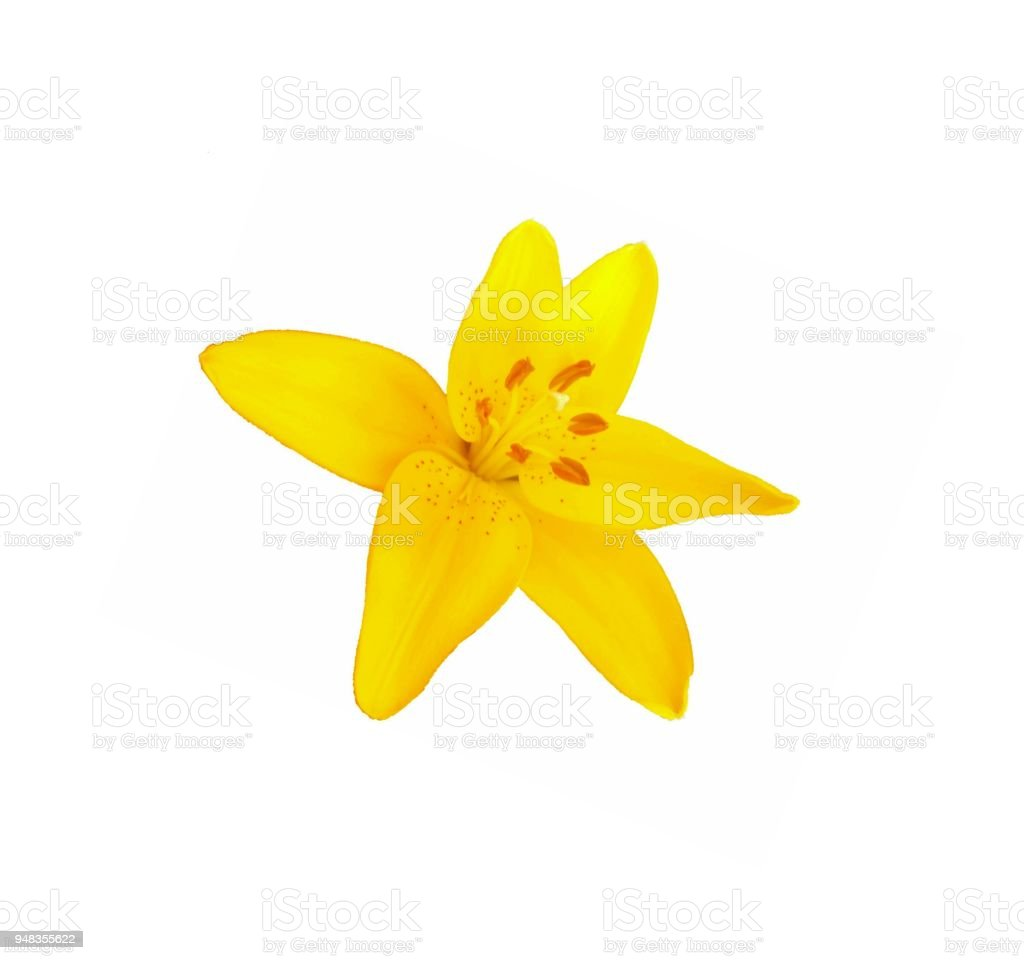 Yellow lily flowers stock photo more pictures of blossom istock plant brazil blossom body care and beauty brush stroke yellow lily flowers izmirmasajfo