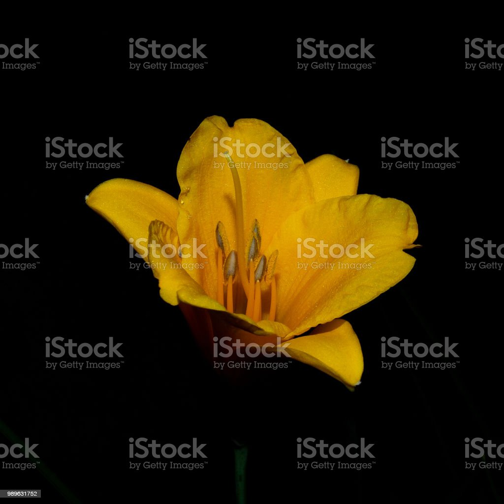 Yellow lily in the black of the night - foto stock