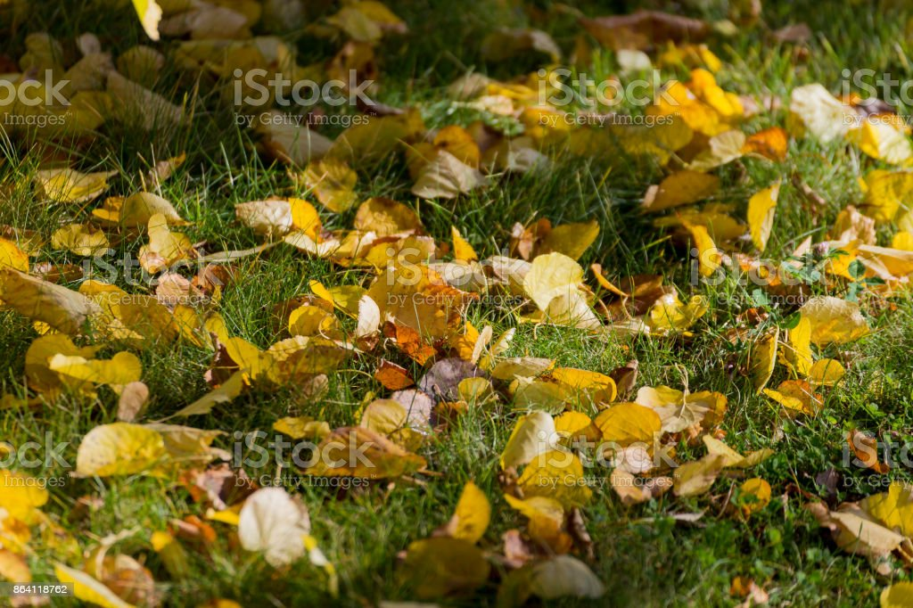 Yellow lime leaves royalty-free stock photo