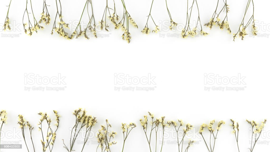 Yellow limonium caspia flowers on white background with copy space stock photo