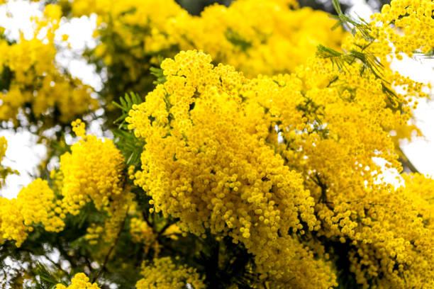 Gelbe Pflanze Baum Lindenblüten am Bosporus Istanbul Türkei – Foto