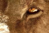 Das gelbe Auge eines männlichen Löwen in extremer Nahaufnahme. Kaum jemand kommt den Tieren so nah!